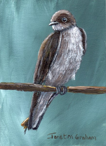 """Northern Rough Winged Swallow ACEO"" original fine art by Janet Graham"