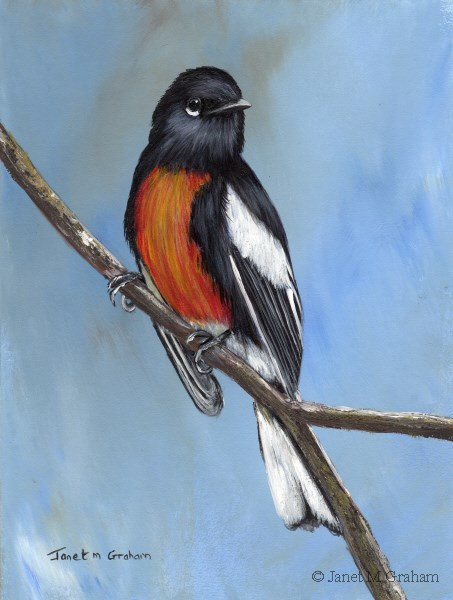 """Painted Redstart No 2"" original fine art by Janet Graham"