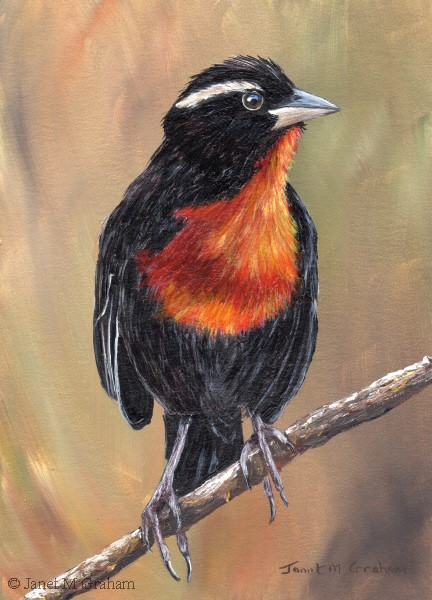 """White Browed Blackbird"" original fine art by Janet Graham"