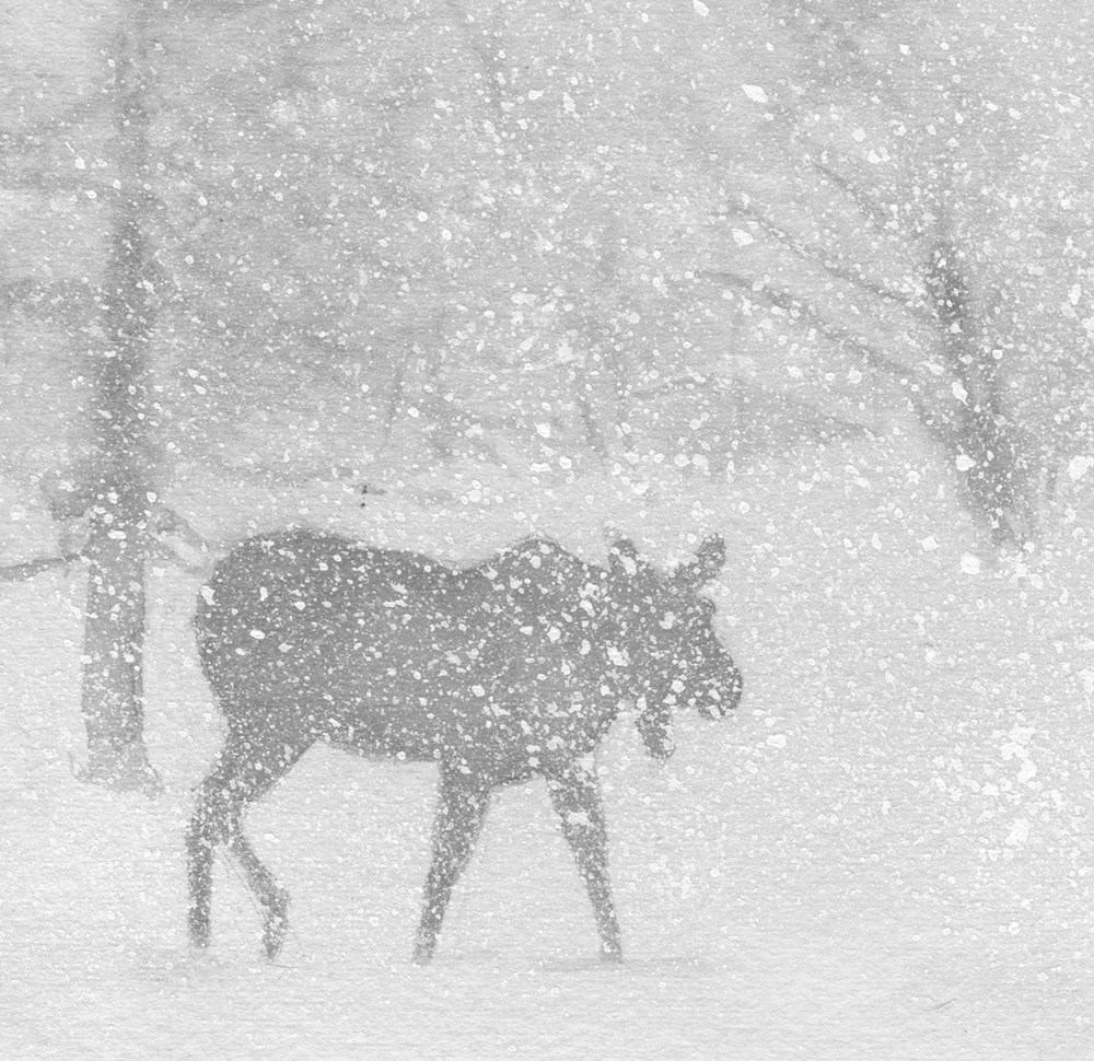 """Moose in Snow"" original fine art by Carole Baker"