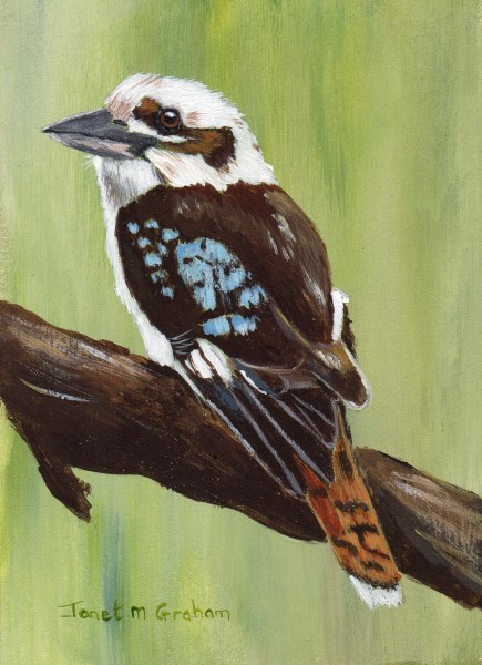 """Kookaburra ACEO"" original fine art by Janet Graham"