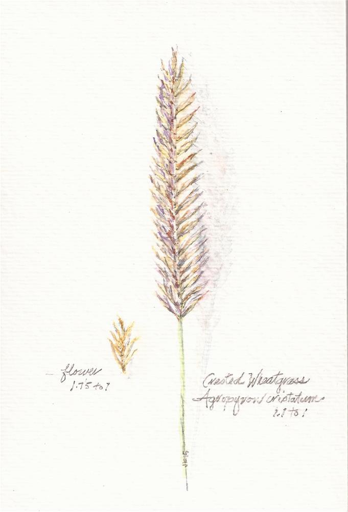 """""""Crested Wheatgrass - Botanical"""" original fine art by Jean Krueger"""