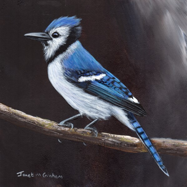 """Blue Jay No 3"" original fine art by Janet Graham"