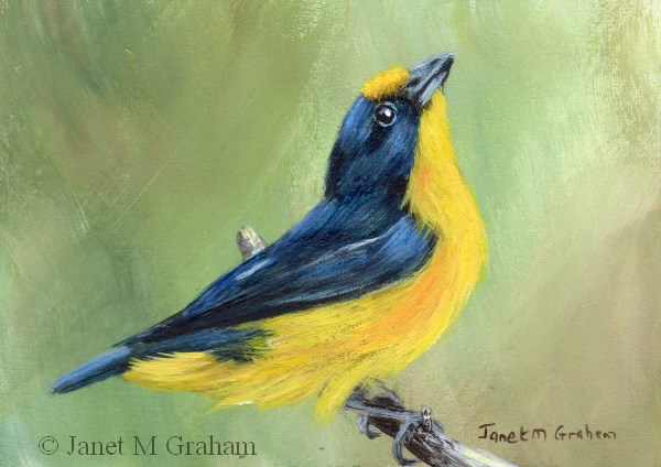 """Violaceous Euphonia ACEO"" original fine art by Janet Graham"