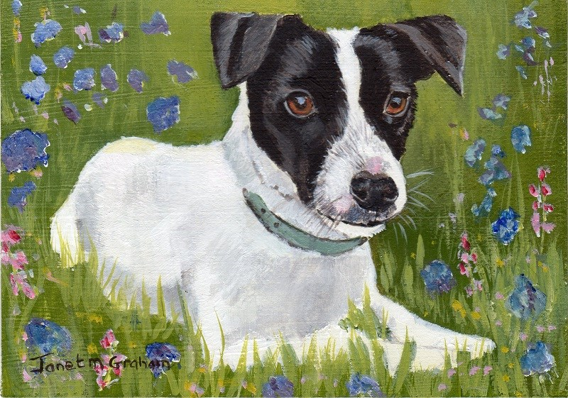 """""""Jack Russell ACEO"""" original fine art by Janet Graham"""