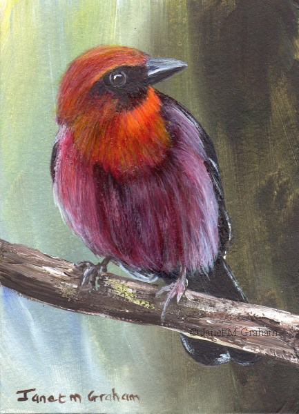 """""""Red Throated Ant Tanager ACEO"""" original fine art by Janet Graham"""