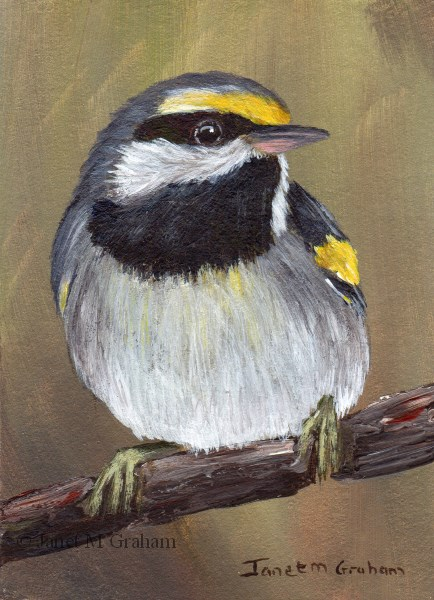 """Golden Winged Warbler ACEO"" original fine art by Janet Graham"