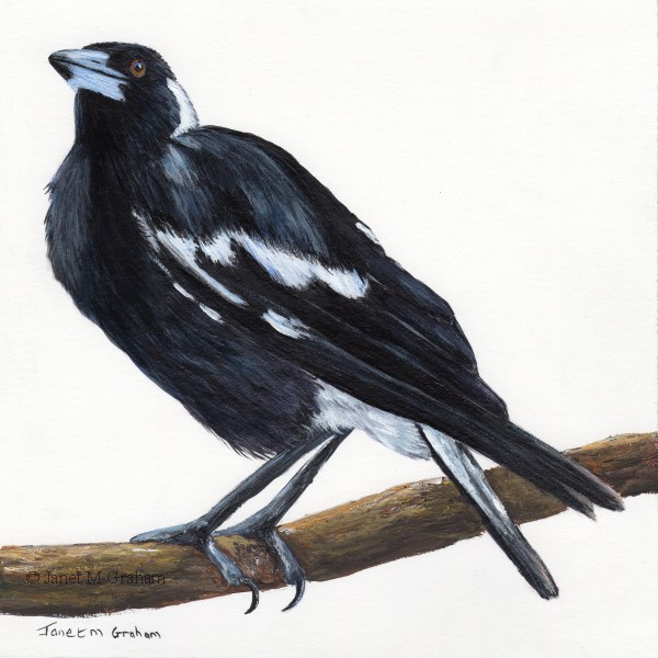 """Australian Magpie No 4"" original fine art by Janet Graham"
