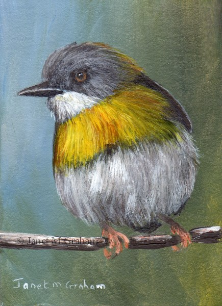 """""""Yellow Breasted Apalis ACEO"""" original fine art by Janet Graham"""
