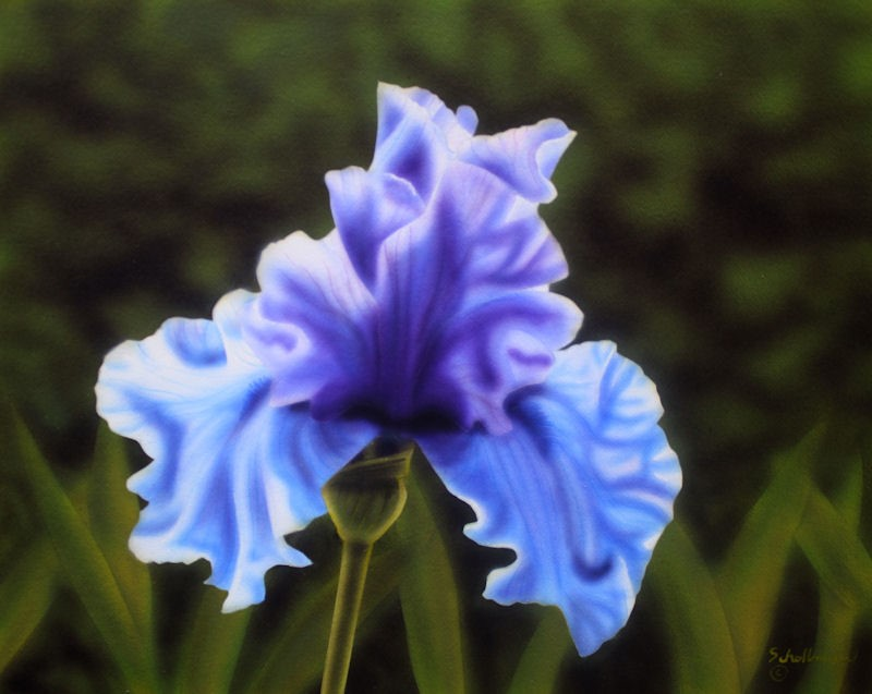 """Blue on Purple Iris"" original fine art by Fred Schollmeyer"