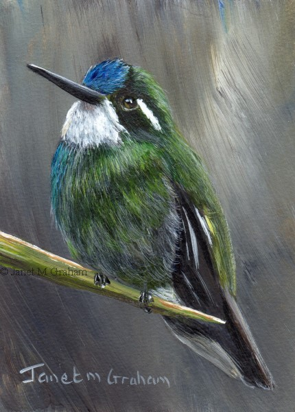 """White Throated Mountain Gem ACEO"" original fine art by Janet Graham"