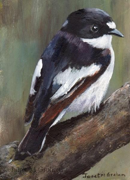 """Piep Flycatcher ACEO"" original fine art by Janet Graham"