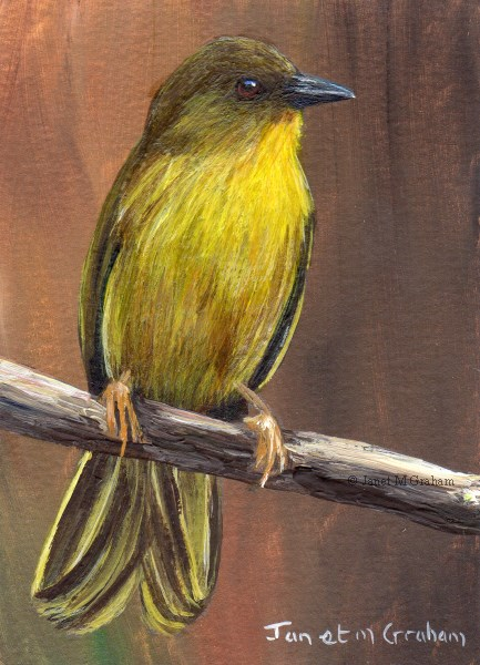 """""""Olive Green Tanager ACEO"""" original fine art by Janet Graham"""