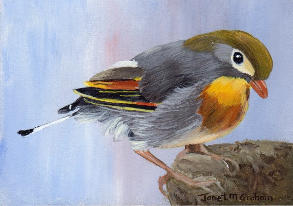 """Pekin Robin ACEO"" original fine art by Janet Graham"