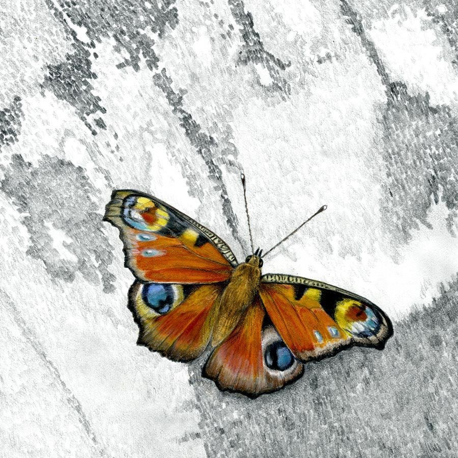 """""""Wildlife Art Insect, Nature, Butterfly PEACOCK BUTTERFLY The Art of Nature, Fine Art  by Mindy Lig"""" original fine art by Mindy Lighthipe"""