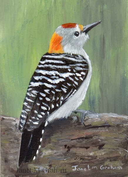 """Golden Fronted Woodpecker ACEO"" original fine art by Janet Graham"