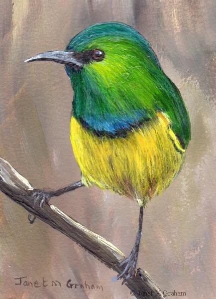 """Collared Sunbird ACEO"" original fine art by Janet Graham"