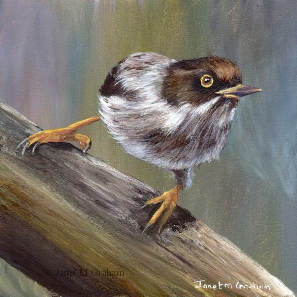 """Australian Nuthatch"" original fine art by Janet Graham"