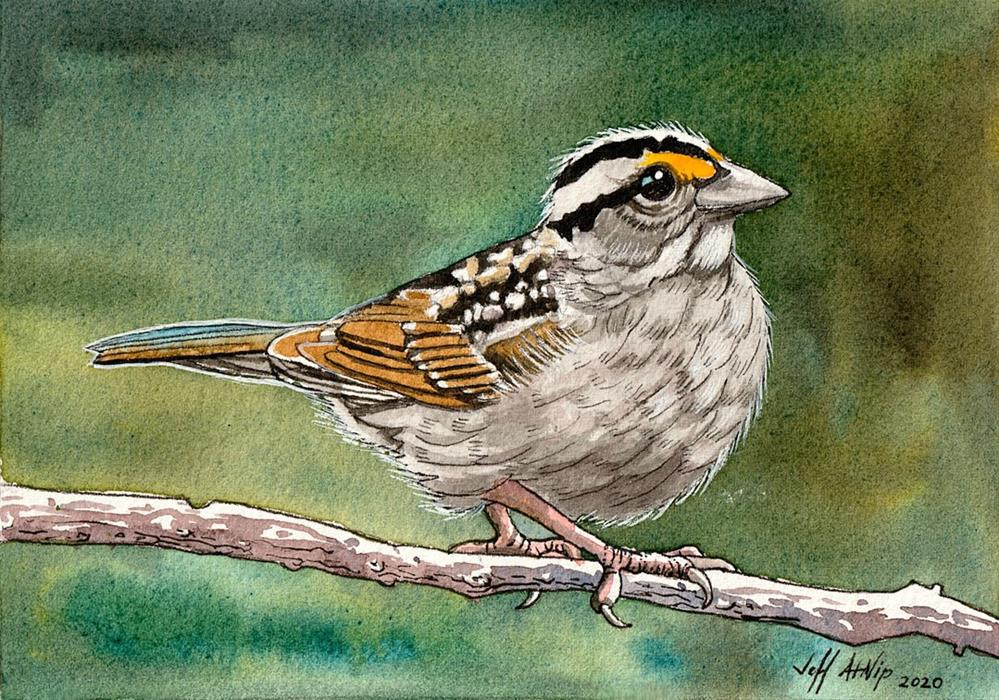 """White Throat"" original fine art by Jeff Atnip"