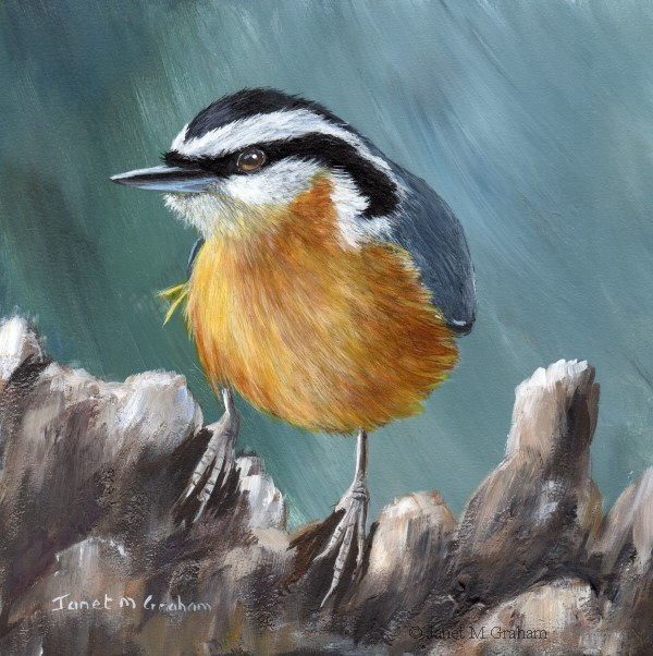 """""""Red Breasted Nuthatch No 8"""" original fine art by Janet Graham"""