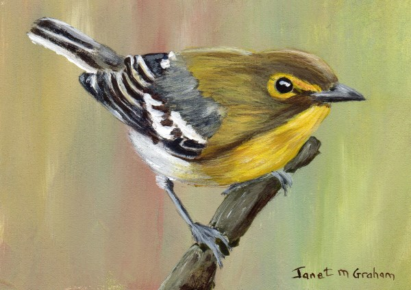 """""""Yellow Thoated Vireo ACEO"""" original fine art by Janet Graham"""