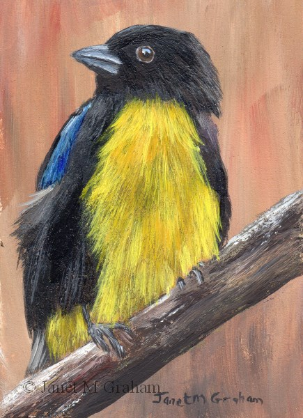 """Black and Gold Tanager ACEO"" original fine art by Janet Graham"