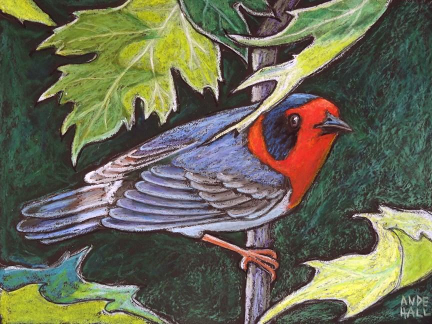 """Red Faced Warbler"" original fine art by Ande Hall"