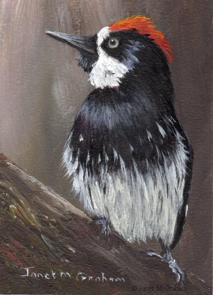 """Acorn Woodpecker ACEO"" original fine art by Janet Graham"