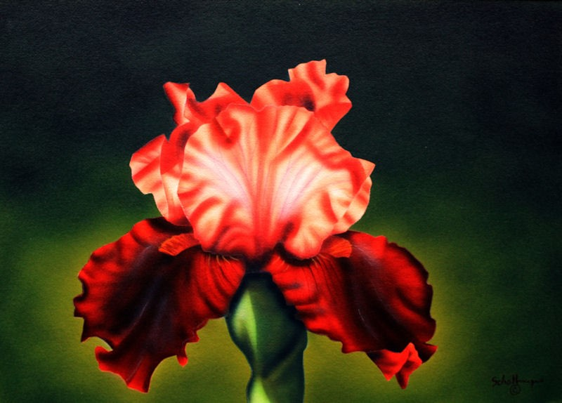 """Flaming Iris"" original fine art by Fred Schollmeyer"