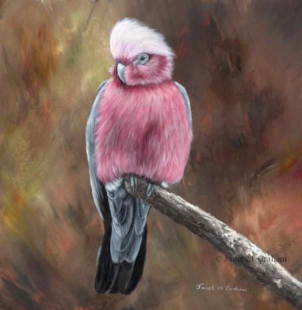 """""""Galah"""" original fine art by Janet Graham"""