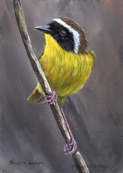 """Common Yellowthroat No 4"" original fine art by Janet Graham"
