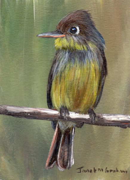"""""""Cuban Pewee ACEO"""" original fine art by Janet Graham"""