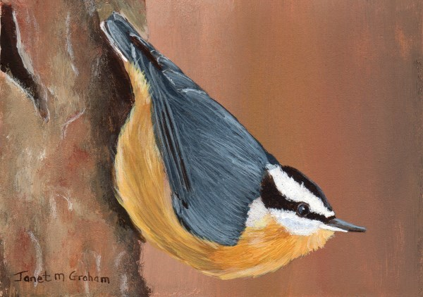 """""""Nuthatch ACEO"""" original fine art by Janet Graham"""