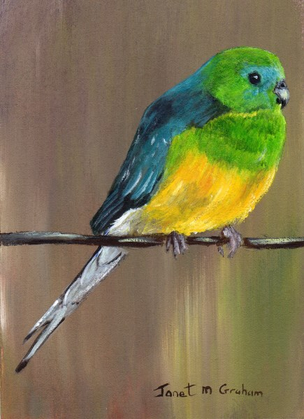 """""""Red Rumped Parrot ACEO"""" original fine art by Janet Graham"""