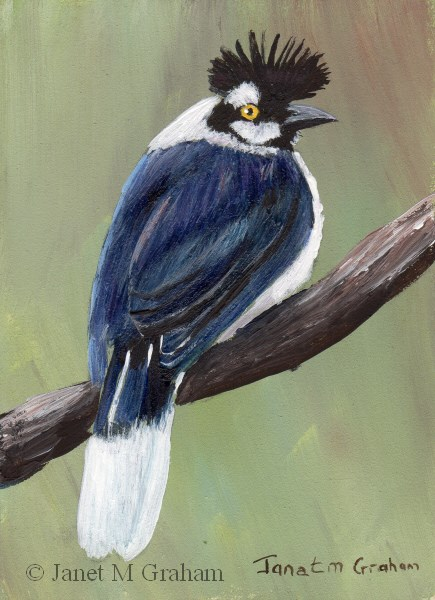 """Tufted Jay ACEO"" original fine art by Janet Graham"