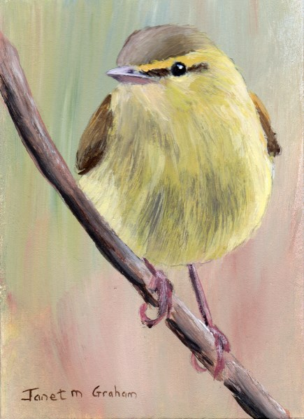 """""""Willow Warbler ACEO"""" original fine art by Janet Graham"""