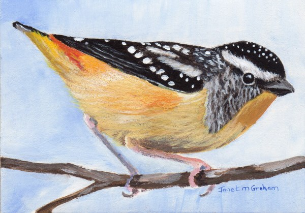 """""""Spotted Pardalote ACEO"""" original fine art by Janet Graham"""