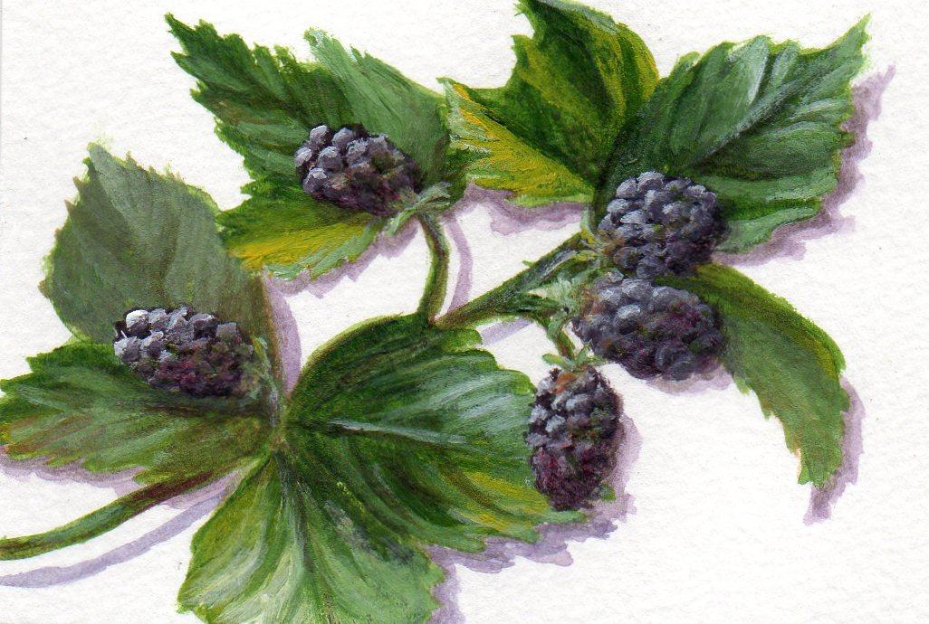 """Bashful Blackberries"" original fine art by Debbie Shirley"
