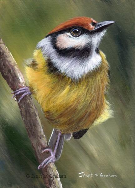 """Rufous Crowned Tody Flycatcher"" original fine art by Janet Graham"
