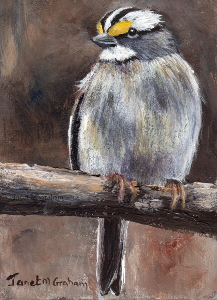 """""""White Throated Sparrow ACEO"""" original fine art by Janet Graham"""