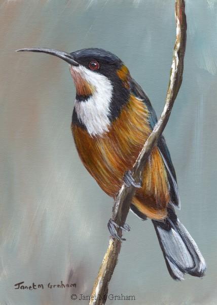 """Eastern Spinebill"" original fine art by Janet Graham"