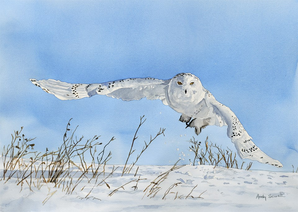 """""""S is for Snowy Owl"""" original fine art by Andy Sewell"""