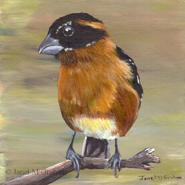 """Black Headed Grosbeak"" original fine art by Janet Graham"