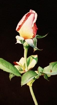 """Pink Rose Bud"" original fine art by Jacqueline Gnott, TWSA, WHS"