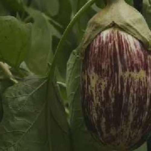 How To Harvest Eggplants Finegardening