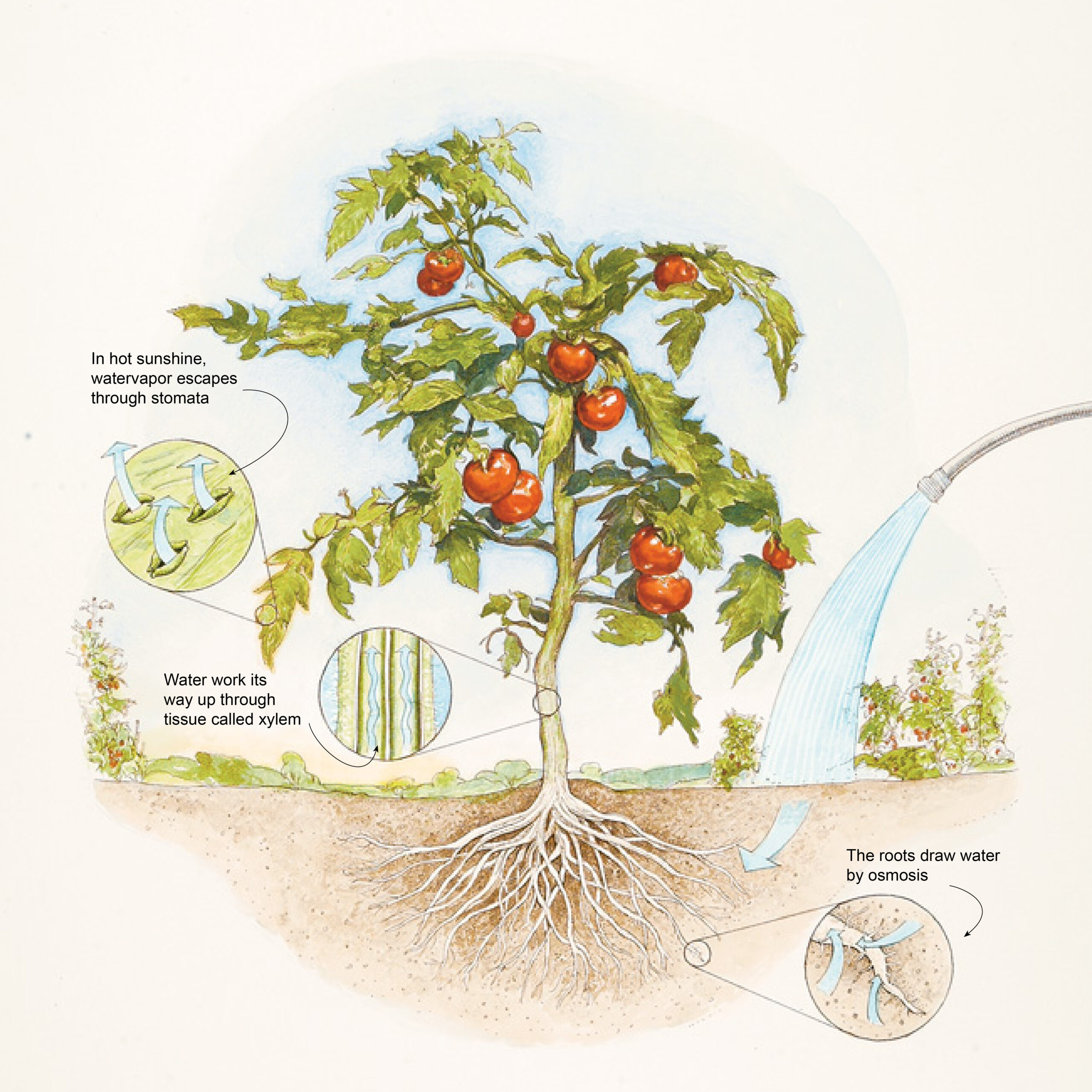 A diagram detailing water entering soil and plant roots via osmosis.