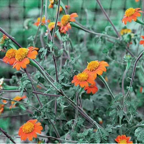 Mexican sunflower,also called Tithonia