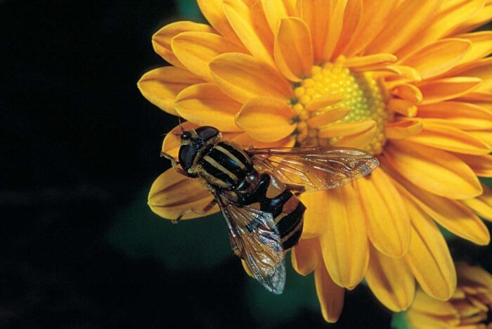 It looks like a honey bee, but it's not. Hover flies (also called syrphid flies) are common predators and easy to spot.