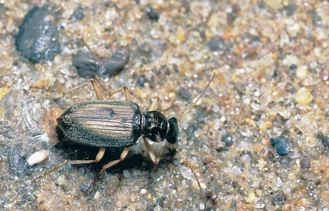 During the day, ground beetles hide in plant debris. At night, they emerge to hunt for insect eggs and larvae.