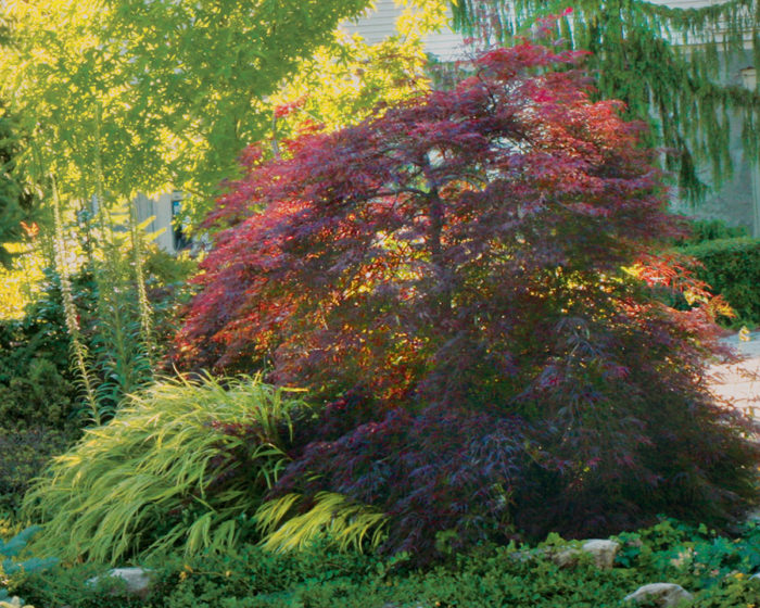 Red laceleaf Japanese maple